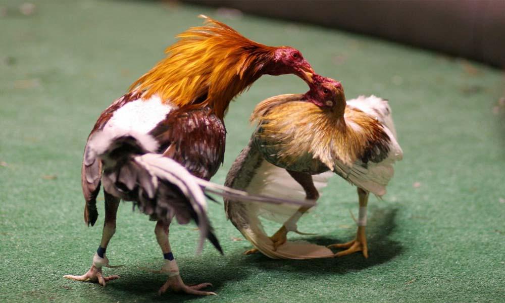 Cách chơi cá cược đá gà trên mạng